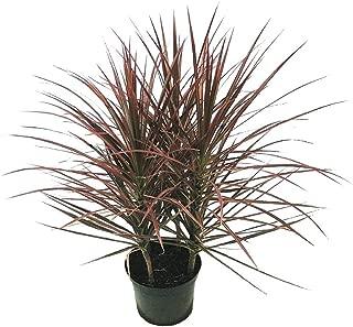 AMERICAN PLANT EXCHANGE Dracena Marginata Madagascar Dragon Tree Indoor/Outdoor Live Plant, 6