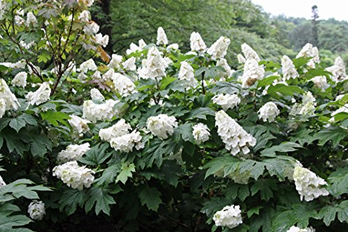 (1 Gallon) Ruby Slippers Oakleaf Hydrangea, White Blooms which Turn deep Pink, Blooms Remains Upright Even After Heavy Showers, gorgoeus Native Plant,Oak Like Large Leaves,