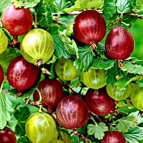 2x Ribes uva-crispa'Hinnonmäki' | 2er...