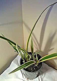 Daniella tasmanica Variegated Flax Lily (6