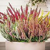 Tomasa Samenhaus- Knospenheide Samen Selten Blumensamen Mischung Calluna Blumen Saatgut mehrjährig Winterhart Zierpflanzen für Balkon/Terrasse/Garten