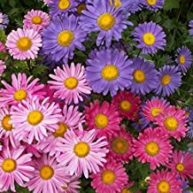David's Garden Seeds Flower Aster China Single Mix SL9931 (Mulit) 500 Non-GMO, Open Pollinated Seeds