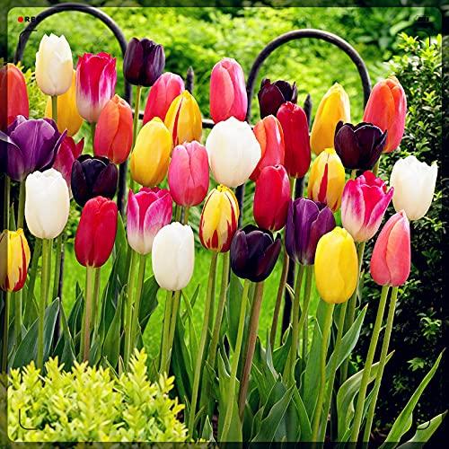Tulpenzwiebeln,Seltene Pflanzen,Edle und elegante Tulpen,Teichpflanzen Winterhart,Tulpen Symbolisieren Ewige Liebe,Zierblumen-20 Zwiebeln,3