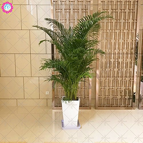 40PCS Bonsai Bambou Graines Salon intérieur Plantes vivaces Jardin en pot arbre d'ornement Graines d'absorption du rayonnement