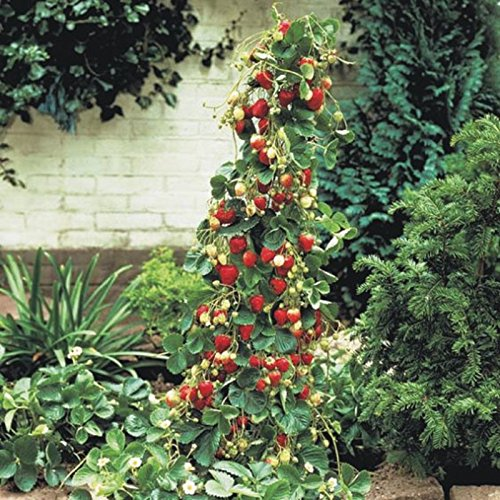 géant Red Climbing Strawberry Seeds Graines de fruits pour la maison et jardin bricolage semences rares pour bonsaï - 100pcs / lot