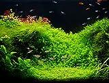 Zoomeister - Aquascaping - Pflanzenset 30L 'Perlenkraut trifft Zungenblatt' - Exclusiv