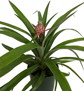 Best indoor pineapple plant for sale Reviews