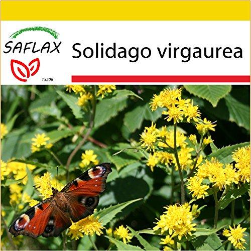 SAFLAX - Anzucht Set - Heilpflanzen - Echte Goldrute - 100 Samen - Mit Mini-Gewächshaus, Anzuchtsubstrat und 2 Töpfen - Solidago virgaurea
