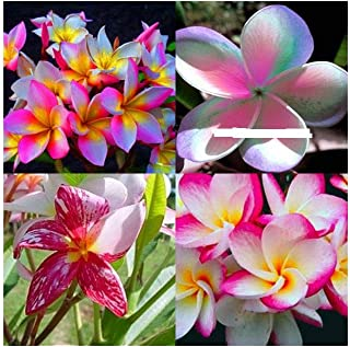 rainbow plumeria cuttings