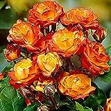 Rosa floribunda 'Cuba Dance' | Strauchrose | Gelb-rote Rosen | Duftend | Höhe 40 cm | Ø-17 cm