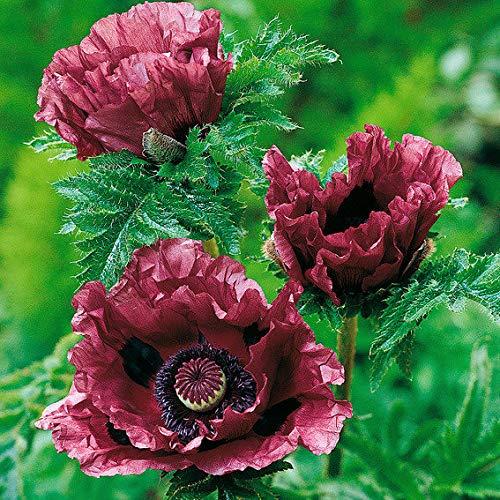 TOMASA Seedhouse- 100 piezas de amapola Turco raro jardín semillas de flores de amapola...