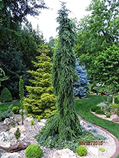 Bruns Pendula Weeping Serbian Spruce 3 - Year Live Plant