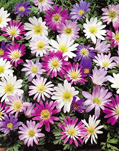 Anemonen Zwiebeln blanda gemischt (50 Blumenzwiebeln)