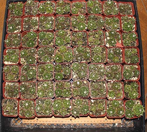 "Obregonia The Artichoke Cactus 3 in Each 2"" Pot"