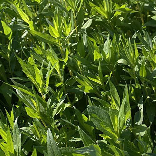 Ramtillkraut (Guizotia abyssinica) 10 kg Engrais vert