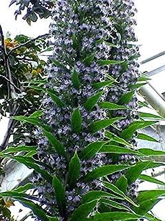 Best blue steeple plant Reviews