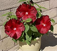 Best hibiscus honeymoon deep red Reviews