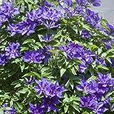 Clematis The President - Kletterpflanze Waldrebe | 1 Pflanze winterhart - Klematis mehrjährige blühende Kletterpflanzen