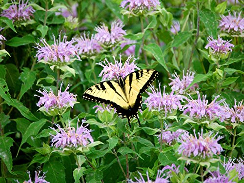 Gaea's Blessing Seeds - Wild Bergamot Seeds (1000 Seeds) Non-GMO Seeds with Easy to Follow Instructions Open-Pollinated Monarda Fistulosa, 94% Germination Rate Net Wt. 500mg