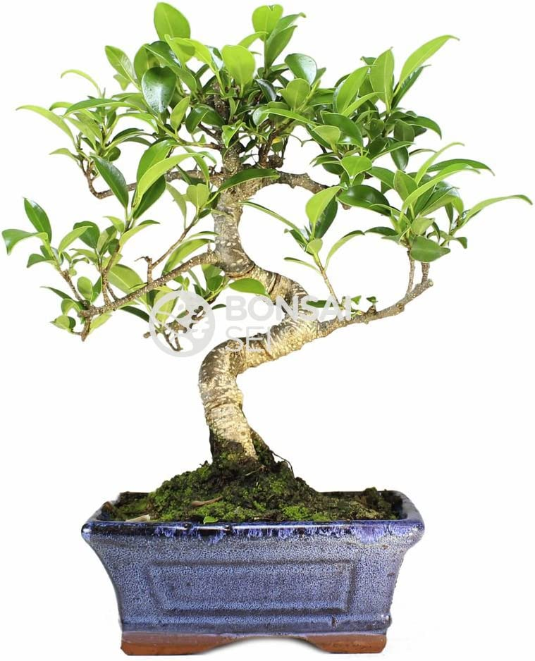 Bonsai - Ficus, 6 Años (Bonsai Sei - Ficus Retusa)