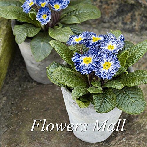 200PCS graines de fleurs rares Primula Semence de zèbre bleu Primula jardin plantation Bonsai Balcon hotsale plante