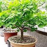 C-LARSS 20Pcs Ginkgo Biloba Seeds, Bonsai Planta En Maceta Paisaje Hogar Jardín Decoración