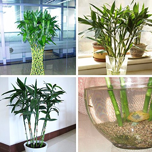 Mélanger 100 pcs/sac Vente Hot Graines Lucky Bamboo Garden Bonsai Balcon Potted usine d'absorption de rayonnement Plantation facile à cultiver