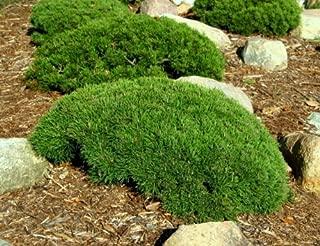 Pumilio Dwarf Mugo Pine 2 - Year Graft