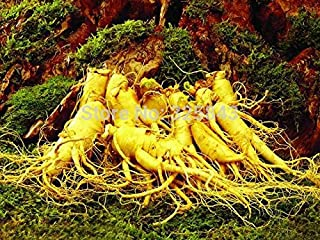 12 Seeds Stratified Chinese hardy Panax Ginseng Korea Ginseng Seeds,Herbal Seeds,Grow your own Ginseng Roots
