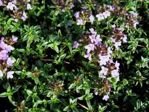 Staudenkulturen Wauschkuhn Thymus herba-barona - Pfefferthymian - Staude im 9cm Topf