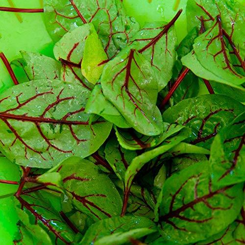 Semillas de Acedera Roja 200 Semillas de Rumex Sanguineus