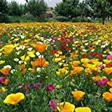 Ornamentales Semillas,Semillas de Plantas Verdes,Flor Semilla de Amapola Balcón Jardín de Flores Jardín de Flores Mar-500g