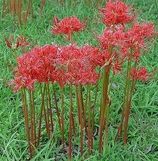 belladonna lily seeds