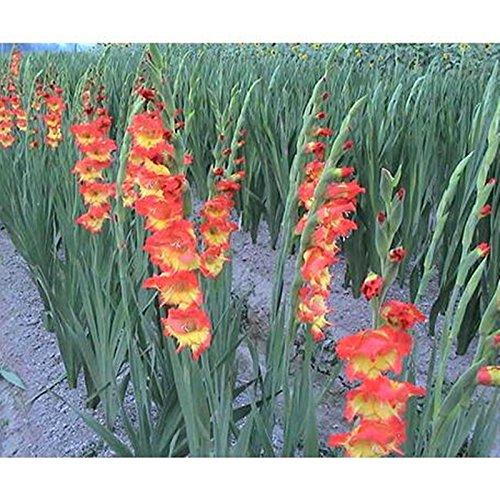 100 Samen / pack Verschiedene Stauden Gladiolen Blumensamen, Rare Schwertlilie Samen sehr beautoful für zu Hause Garten Bepflanzung