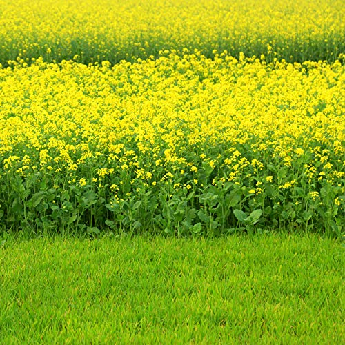 10 best mustard seeds to plant for 2020