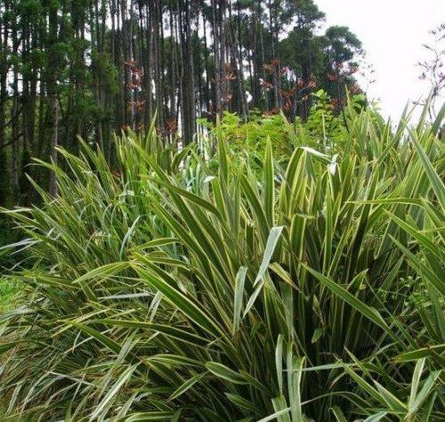 Frais Phormium Tenax Graines Nouvelle-Zélande vert Lin 10 graines graminée
