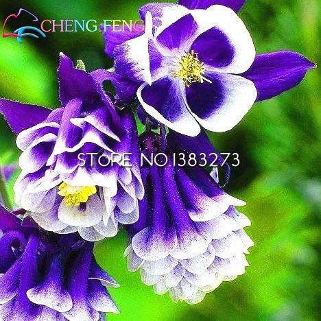 Meilleures ventes * 100pcs Belles Graines Aquilegia Belles graines de fleurs Le 95% Jardin des plantes en herbe Tarif pour le cadeau Enfants