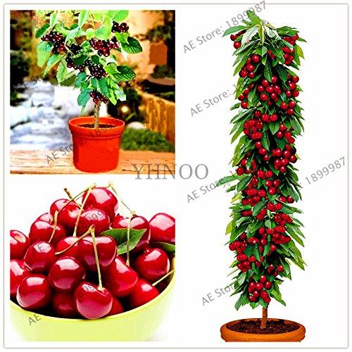 AGROBITS Grande vente mini-arbres cerise plantes arbres fruitiers cerise arbre bonsaï cerise de Planta nain flores maison & amp; ! 20pcs jardin/sac