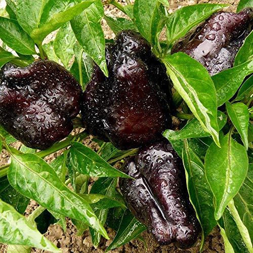 Samen für ca. 10 Pflanzen Zulu Paprika - außergewöhnlicher, dunkler Paprika