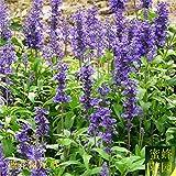 sanhoc fiore blu salvia bonsai polvere calice salvia bonsai mucchio di bonsai blu su 100pcs (lan hua shu wei cao)