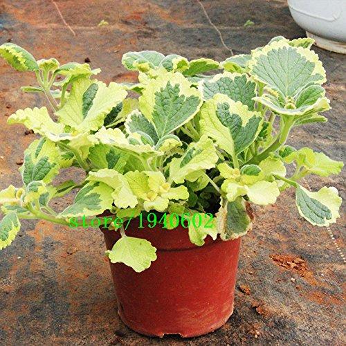 Rare mosaïque Menthe Graines Légumes Graines balcon en pot aromatique Graines de menthe poivrée 200 pcs