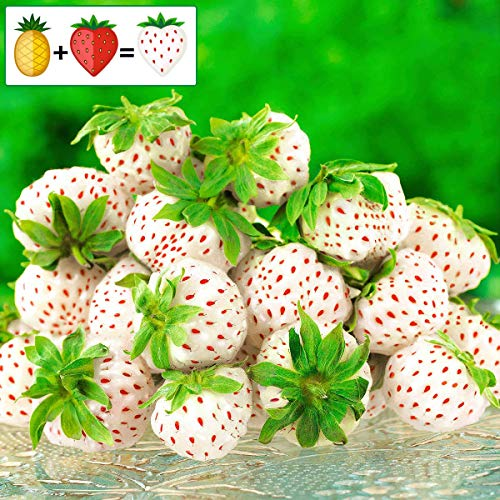 Anitra Perkins - Großfruchtig Immertragende Erdbeere Samen zuckersüss aromantisch weiße Ananas-Erdbeere Frucht Obst Samen mehrjährig winterhart für Garten Balkon/Terrasse