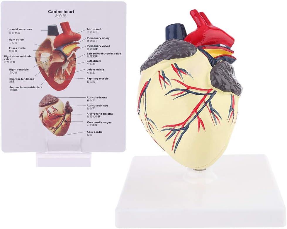 Richi Dog Heart OFFer Anatomy Display Ranking TOP7 Model Study