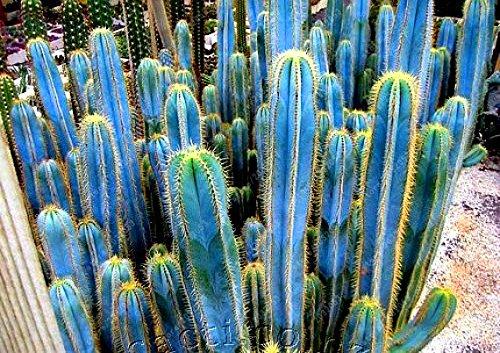 AGROBITS Semi di cactus 100 pezzi viola blu rari cactus piante grasse per la decorazione del giardino di casa purificare l'aria e prevenire