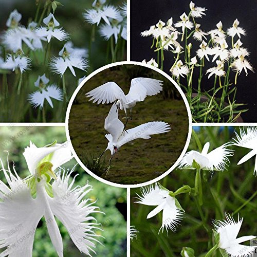 Free Ship Radiata Seeds,Egret Flower Seeds Habenaria World'S Rare Plants Series -40 Particles