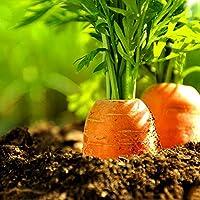 Contenu : 100 graines de carotte Peut s'adapter à la plupart des sols, mais produit les meilleurs fruits/vagetables/fleurs dans un sol drainant en profondeur avec une humidité constante dans une position ensoleillée. En le plantant par vous-même, vou...