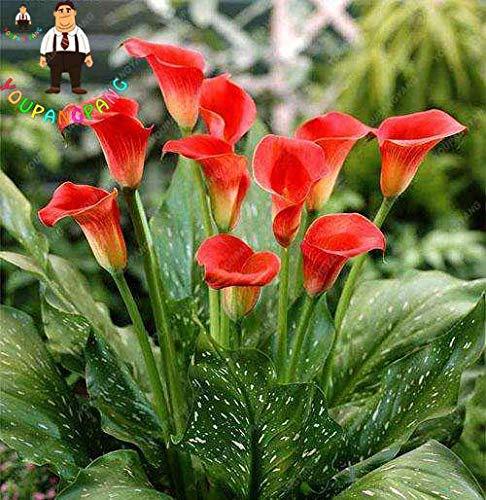 100 Pcs Calla-Lilien-Samen Blumen Zimmerblumen Rhizome Zantedeschia Aethiopica Seeds Houseseeds Home Garten Palnt: Gelb