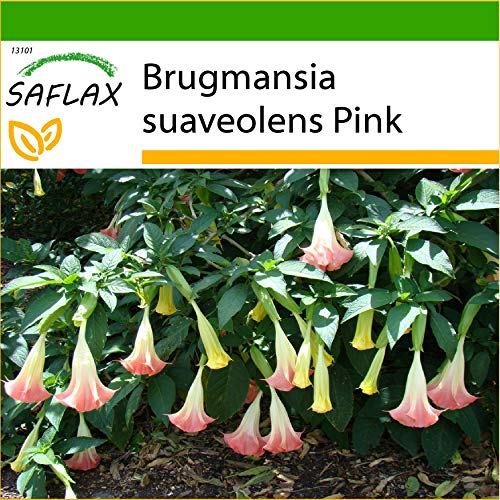 SAFLAX - Trombone d'angelo rosa - 10 semi - Con substrato - Brugmansia suaveolens Pink