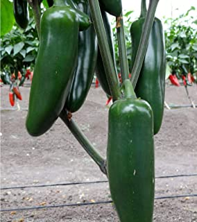 David's Garden Seeds Pepper Jalapeno Jedi SL9116 (Green) 25 Non-GMO, Hybrid Seeds