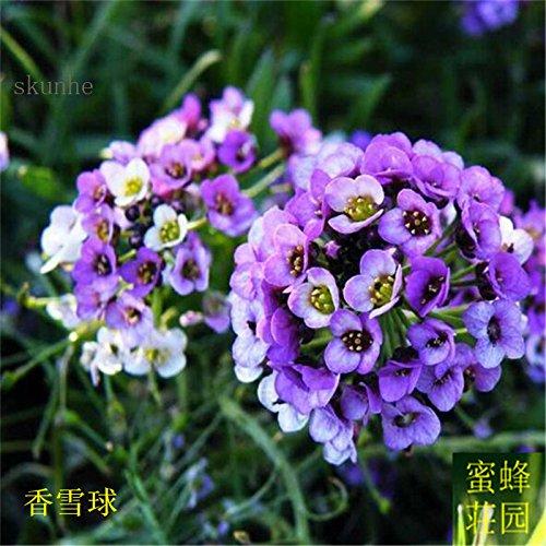 Hornspear Graines de moutarde Graines Petite fleur blanche Jade papillon taux de germination des graines Environ 100 graines 2